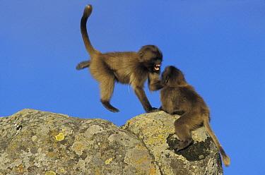 Gelada Baboon (Theropithecus gelada) babies playing, Simien Mountain National Park, Ethiopia  -  Ingo Arndt