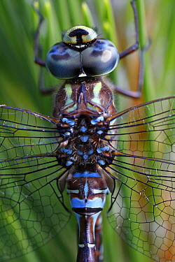 Green-striped Darner (Aeshna verticalis) dragonfly close up showing composite eyes, New Brunswick, Canada  -  Scott Leslie
