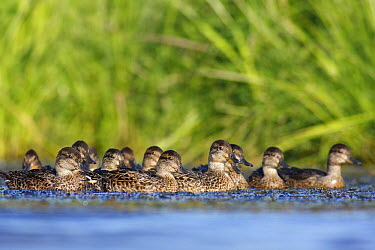 Common Teal (Anas crecca) juvenile group, Belleisle Marsh, Nova Scotia, Canada  -  Scott Leslie