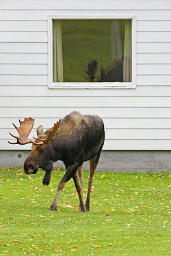 Moose (Alces alces americana) walking across lawn, Cape Breton Highlands National Park, Nova Scotia, Canada  -  Scott Leslie