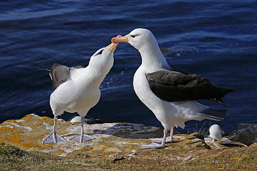 Black-browed Albatross (Thalassarche melanophrys) pair courting, Falkland Islands  -  Martin Withers/ FLPA
