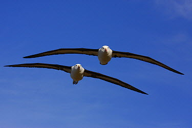 Black-browed Albatross (Thalassarche melanophrys) pair flying, Falkland Islands  -  Martin Withers/ FLPA