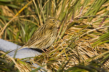 South Georgia Pipit (Anthus antarcticus) in tussock grass, Prion Island, South Georgia Island  -  Dickie Duckett/ FLPA