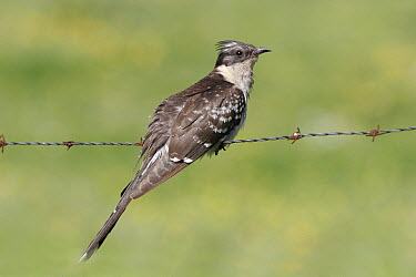 Great Spotted Cuckoo (Clamator glandarius) perched on barbed wire fence, Spain  -  Martin Withers/ FLPA