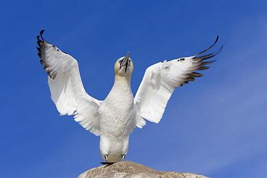 Northern Gannet (Morus bassanus) flapping wings, Great Saltee Island, Ireland  -  Dickie Duckett/ FLPA