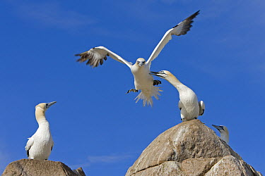 Northern Gannet (Morus bassanus) pecking another individual in flight, Great Saltee Island, Ireland  -  Dickie Duckett/ FLPA
