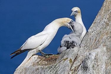 Northern Gannet (Morus bassanus) feeding chick at nest, Great Saltee Island, Ireland  -  Dickie Duckett/ FLPA