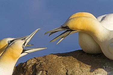 Northern Gannet (Morus bassanus) pairs disputing nesting territory, Great Saltee Island, Ireland  -  Dickie Duckett/ FLPA