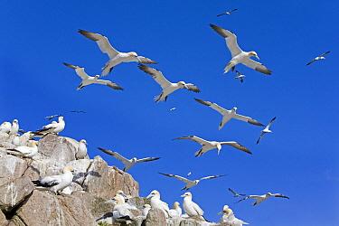 Northern Gannet (Morus bassanus) group flying over nesting colony, Great Saltee Island, Ireland  -  Dickie Duckett/ FLPA