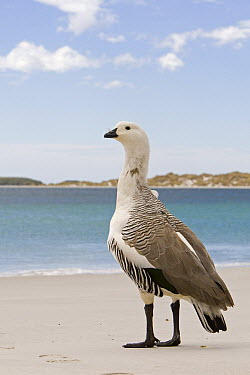 Upland Goose (Chloephaga picta) male on beach, Gypsy Cove, Stanley, Falkland Islands  -  Dickie Duckett/ FLPA