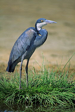 Black-headed Heron (Ardea melanocephala) standing on grass, Tanzania  -  Martin Withers/ FLPA