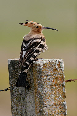 Eurasian Hoopoe (Upupa epops) perched on concrete fence post, Spain  -  Martin Withers/ FLPA