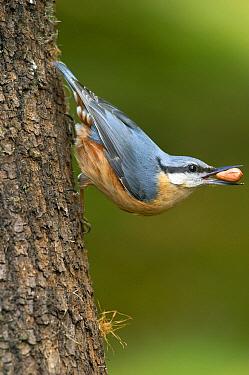 Wood Nuthatch (Sitta europaea) feeding on peanut, Cumbria, England  -  Peter Entwistle/ FLPA