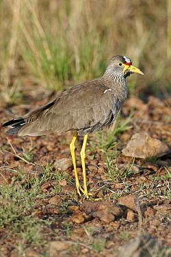 Wattled Lapwing (Vanellus senegallus lateralis) standing on rocky ground, Kenya  -  Martin Withers/ FLPA