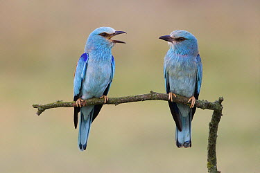 European Roller (Coracias garrulus) pair communicating, Hungary  -  Dickie Duckett/ FLPA