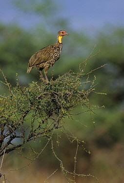 Yellow-necked Spurfowl (Pternistis leucoscepus), Tanzania  -  Martin Withers/ FLPA