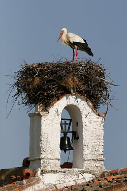 White Stork (Ciconia ciconia) at nest on church bell tower, Spain  -  Martin Withers/ FLPA