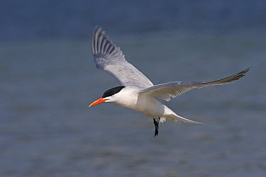 Caspian Tern (Hydroprogne caspia) flying over sea, Fort Desoto Park near Saint Petersburg, Florida  -  Dickie Duckett/ FLPA