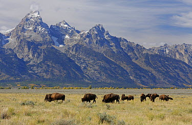 American Bison (Bison bison) herd grazing, Grand Teton National Park, Wyoming  -  Martin Withers/ FLPA