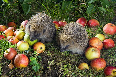 Brown-breasted Hedgehog (Erinaceus europaeus) young foraging for slugs in fallen apples, West Sussex, England  -  Derek Middleton/ FLPA