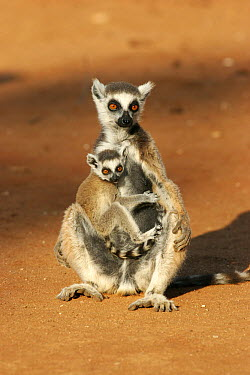 Ring-tailed Lemur (Lemur catta) female with young, Berenty Reserve, Madagascar  -  Martin Withers/ FLPA