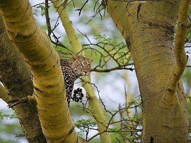 Leopard (Panthera pardus) in bough of acacia tree, Lake Nakuru, Great Rift Valley, Kenya  -  Elliott Neep/ FLPA