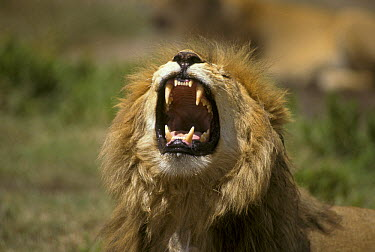 African Lion (Panthera leo) roaring, Tanzania  -  Martin Withers/ FLPA