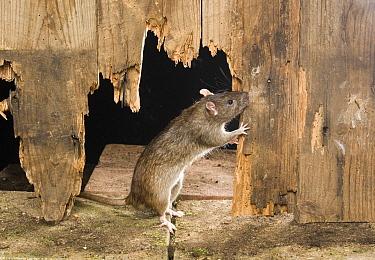 Brown Rat (Rattus norvegicus) gnawing wooden door of farm building, West Sussex, England  -  Derek Middleton/ FLPA