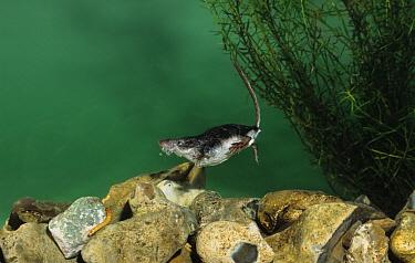 Eurasian Water Shrew (Neomys fodiens) swimming underwater, Europe  -  Derek Middleton/ FLPA
