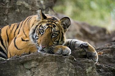 Bengal Tiger (Panthera tigris tigris) cub resting on rocky outcrop, Bandhavgarh National Park, Madhya Pradesh, India  -  Elliott Neep/ FLPA