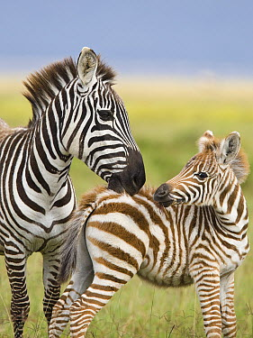 Burchell's Zebra (Equus burchellii) female grooming foal, Lake Nakuru, Great Rift Valley, Kenya  -  Elliott Neep/ FLPA