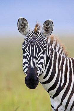 Burchell's Zebra (Equus burchellii) portrait, Lake Nakuru, Great Rift Valley, Kenya  -  Elliott Neep/ FLPA