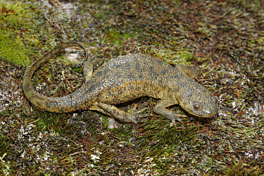 Sharp-ribbed Newt (Pleurodeles�waltl) on moss covered rock, Spain  -  Martin Withers/ FLPA
