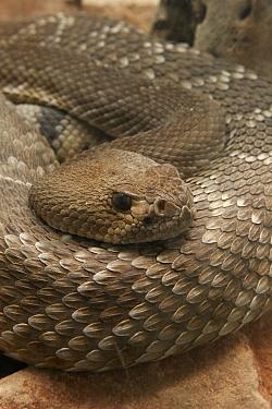 Red Rattlesnake (Crotalus ruber), Arizona  -  Martin Withers/ FLPA