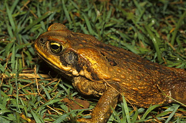 Cane Toad (Bufo marinus) the large swollen parotid glands behind the head produce a mixture of fourteen different toxins affecting the nervous system of any predator inexperienced enough to try to eat...  -  Martin Withers/ FLPA