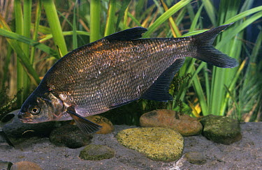 Common Bream (Abramis brama), native to Europe  -  Derek Middleton/ FLPA