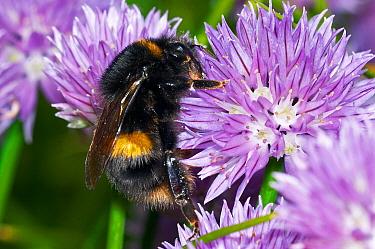 Buff-tailed Bumblebee (Bombus terrestris) collecting pollen on Chives (Allium schoenoprasum) in garden, England  -  Peter Entwistle/ FLPA