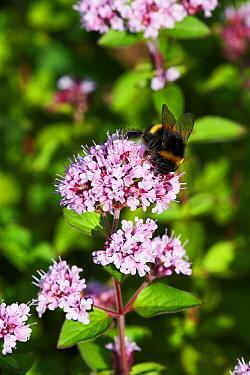 Buff-tailed Bumblebee (Bombus terrestris) collecting pollen on Variegated Marjoram (Origanum vulgare) in garden, England  -  Peter Entwistle/ FLPA