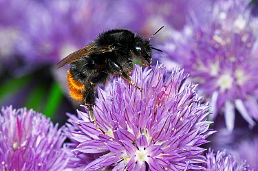 Red-tailed Bumblebee (Bombus lapidarius) collecting pollen on Chives (Allium schoenoprasum) in garden, England  -  Peter Entwistle/ FLPA