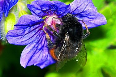 Red-tailed Bumblebee (Bombus lapidarius) collecting pollen geranium flowers in garden, England  -  Peter Entwistle/ FLPA