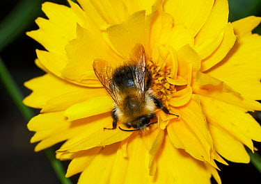Brown Bumblebee (Bombus pascuorum) collecting pollen on yellow flower in garden, England  -  Peter Entwistle/ FLPA