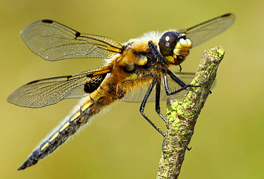 Four-spotted Chaser (Libellula quadrimaculata) dragonfly, Morecambe Bay, Cumbria, England  -  Peter Entwistle/ FLPA