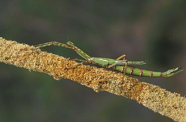 Goliath Stick Insect (Eurycnema goliath), Australia  -  Martin Withers/ FLPA