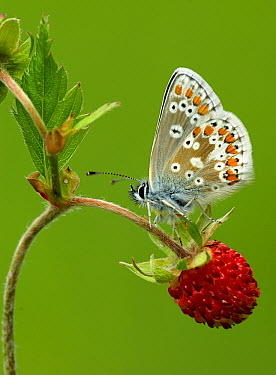 Northern Brown Argus (Aricia artaxerxes) butterfly on Strawberry (Fragaria sp), Morecambe Bay, Cumbria, England  -  Peter Entwistle/ FLPA