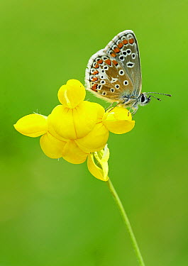 Northern Brown Argus (Aricia artaxerxes) butterfly feeding on Common Birdsfoot Trefoil (Lotus corniculatus) flower, England  -  Peter Entwistle/ FLPA
