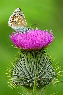 Common Blue (Polyommatus icarus) butterfly on thistle, Morecambe Bay, Cumbria, England  -  Peter Entwistle/ FLPA