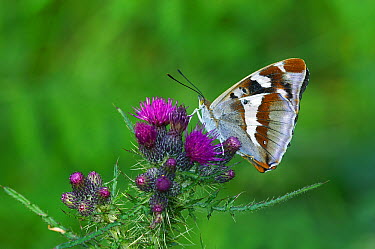 Purple Emperor (Apatura iris) butterfly feeding on Common Thistle (Cirsium vulgare), England  -  Peter Entwistle/ FLPA