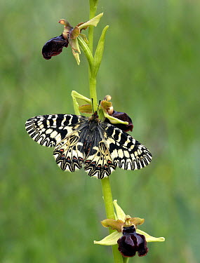 Southern Festoon (Zerynthia polyxena) butterfly resting on orchid, southern Italy  -  Martin Withers/ FLPA
