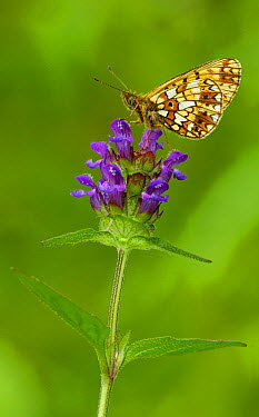 Small Pearl-bordered Fritillary (Boloria selene) butterfly on flower, Morecambe Bay, Cumbria, England  -  Peter Entwistle/ FLPA