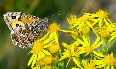 Grayling (Hipparchia semele) butterfly feeding on Stinking Willie (Senecio jacobaea) flower, Morecambe Bay, Cumbria, England  -  Peter Entwistle/ FLPA